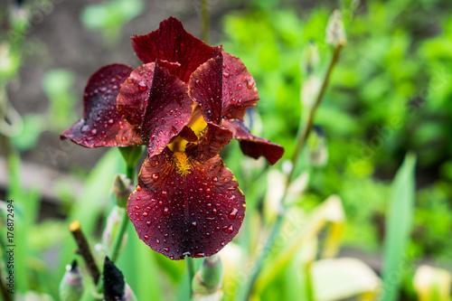 Fotobehang Iris Red iris flower blooming in the garden. Shallow depth of field.