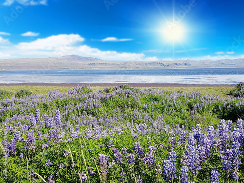 The lupine landscape in Iceland