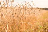 Wheat growing in the field - 176883624