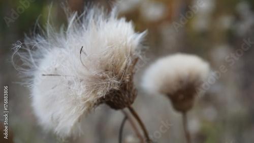 Fon white fluff - 176883806