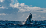 Humpback whale breaching and jumping in blue polynesian sea - 176890048