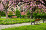 beautiful springtime background. Pink Sakura trees behind the wooden bench in blossoming city park - 176892001