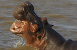 Hippo with Open Mouth and Teeth - 176892071