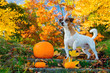 Young Jack Russell Terrier dog near a pumpkin stay on stairs