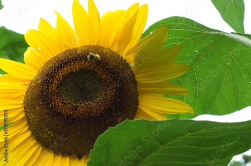 Sonnenblumen Bienen