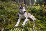 Siberian huky dog in forest outdoors, laika, wolfdog