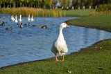white goose walks by the lake - 176908810