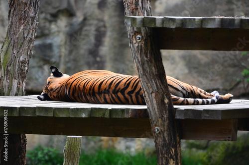 Naklejka Slipping tiger