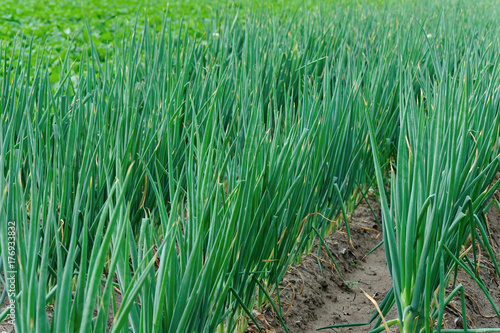 Papiers peints Vert chinese cabbage and onion crops in growth at field