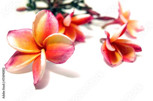 Aluminium Plumeria Pink Plumeria (Frangipani) Flower Isolated on White Background Great For Any Use.