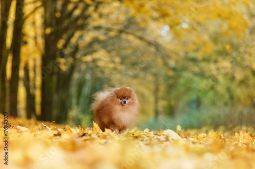 Papiers peints Miel Red-haired dog of German Spitz breed stands on a background of golden autumn landscape