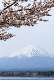 Cherry blossom with Mount fuji at Lake kawaguchiko background. - 176947201