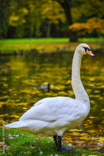 A beautiful swan over a pond in an autumn park.