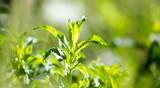 green mint leaves in the garden - 176949808