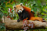 Beautiful Red panda lying on the tree with green leaves. Red panda bear, Ailurus fulgens, habitat. Detail face portrait, animal from China. Wildlife scene from Asia forest. Panda from nature. - 176950617