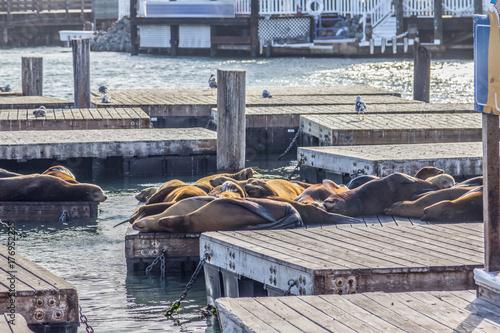 Poster Sea Lion in San francisco pier