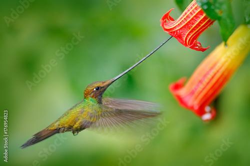 Hummingbird wystawiający rachunek na muchy, Ensifera ensifera, lata obok pięknego pomarańczowego kwiatu, ptaka z najdłuższym rachunkiem, w siedlisku lasów natury, Ekwador. Dzikość scena, zwrotnika las. Obserwacja ptaków w Ameryce Południowej