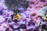 Colorful underwater world with corals and tropical fish (Banggai cardinal fish) - 176957034