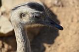 ostrich - 176957258