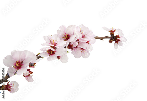 Foto op Plexiglas Zen flor de almendro aislada en fondo blanco