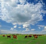 Calves on the field - 176960850