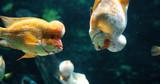 Portrait of flowerhead cichild fish swimming in aquarium - 176977664