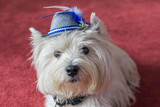 West Highland White Terrier with a bavarian hat - 176978005