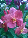 Beautiful orchid in a Singaporean garden