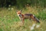 Fox (Vulpes vulpes) - 176986076