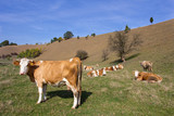 Cows on valley - 176998499