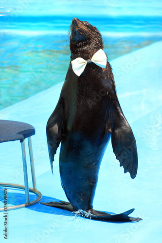 Fur seal with white bow tie on a catwalk Poster
