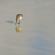 Quadro Solitary Western Sandpiper poised with shadow and reflection