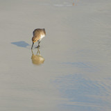 Solitary Western Sandpiper poised with shadow and reflection - 177007616