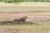 Cheetah rest on the savannah - 177010225