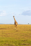 Giraffe walking on the savannah - 177010229