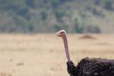 Portrait of an ostrich in the savanna - 177010234