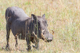 Warthog standing on her knees on the grass of the savannah - 177010237