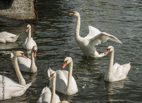 White swans in port of Baltiysk, Kaliningrad region, Russia
