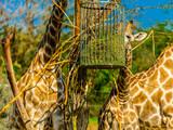 girafe - 177012002