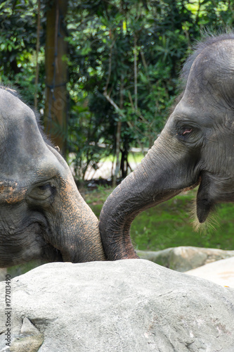 Asian elephant a very huge animal Poster