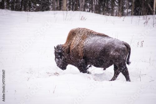 Aluminium Bison Free wild bison, Northern BC, Canada