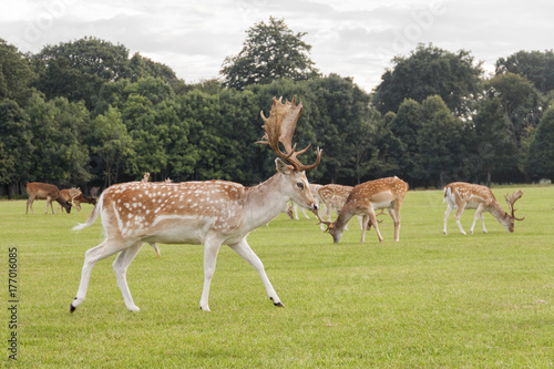 Deer herd at Phoenix Park, Dublin Poster