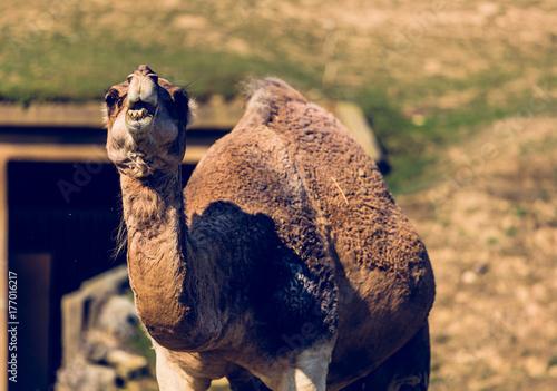Fotobehang Kameel chameau