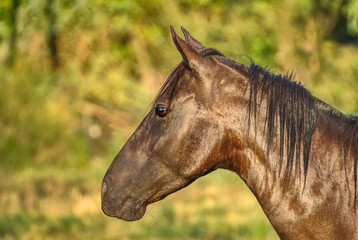 Portrait of a criollo horse on a field