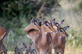 Herd of female Impalas in Kruger. - 177019443