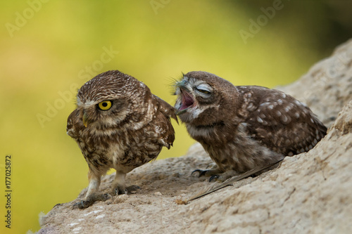 Two little owls sitting on a slope.