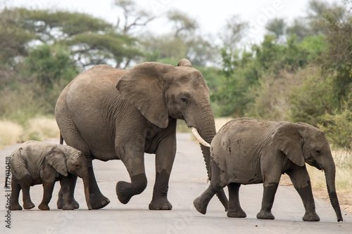 Elephants in Kruger national park Poster