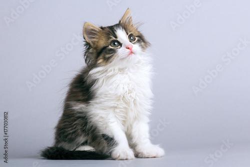 portret małego puszystego kotka siedzi na szarym tle i patrząc w górę