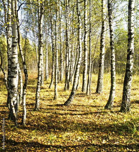 Papiers peints Jaune de seuffre Birch grove in autumn season