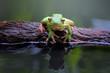 Tree frog, white lipped, litoria infrafrenata in reflection